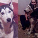 Am pierdut un câine de rasă, Husky Siberian ! Ofer Recompensă.