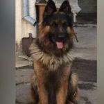 S-a pierdut un câine Ciobănesc la Hîncești.