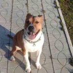 Am pierdut un câine de rasă Pitbull  la Hîncești