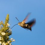 Video Exclusiv ! Fluture Sphinx Colibri observată la Hâncești