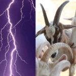 10 capre lovite de fulger în localitatea Bujor din raionul Hîncești