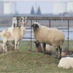 8 capre și două oi dispărute în Fundul Galbenei